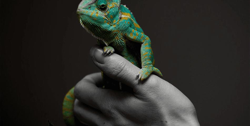 a Quean chameleon on a human hand